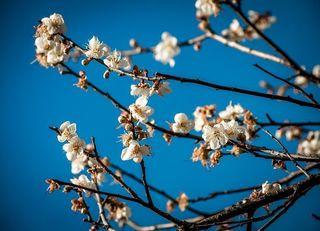 plum-blossom-3503126__480.jpg